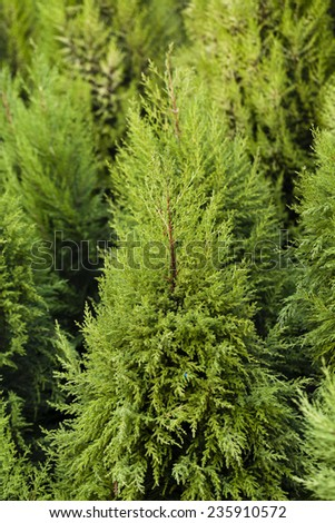 Set of natural Christmas  tress