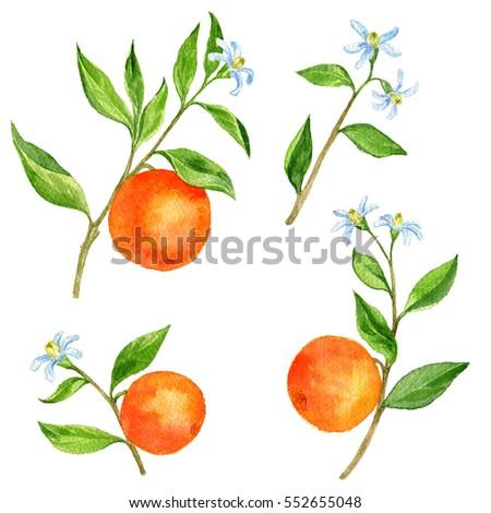 Set Orange Tree Branches Fruits Leaves Stock Illustration ...