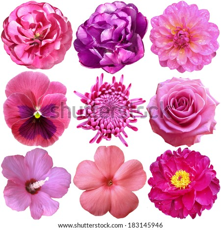 Set of Pink Flowers Heads  Isolated on White - stock photo