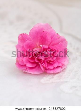 Set of pink rose on white lace background - stock photo