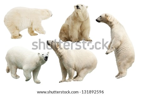 Set of polar bear. Isolated over white background - stock photo