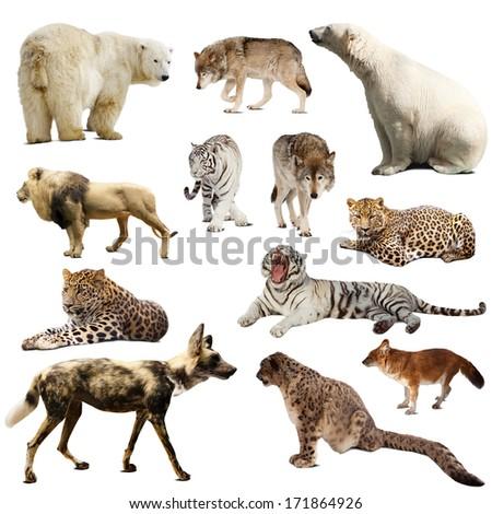 Set of predatory mammals. Isolated over white  - stock photo