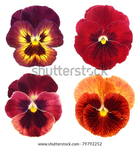 set of red  pansy on white background - stock photo