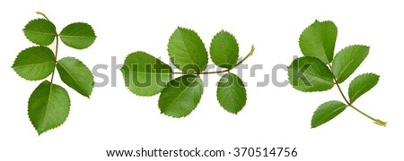 Set of rose leaf isolated  - stock photo