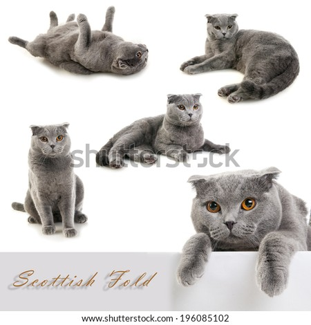 Set of Scottish fold grey cat isolated on white background