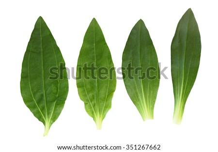 Set of soapwort bouncing bet and dianthus perennial leaf - stock photo