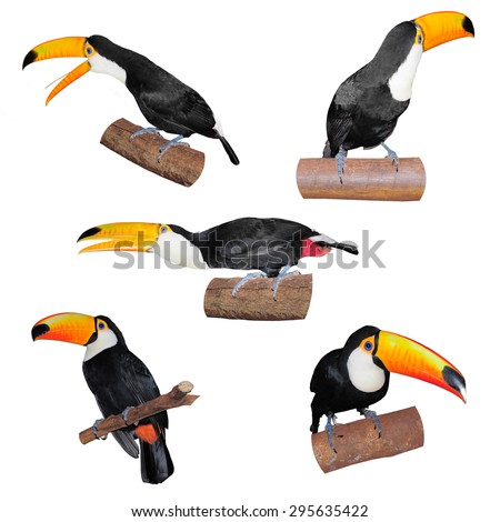 Set of Toucans sitting on tree branch isolated on white background - stock photo