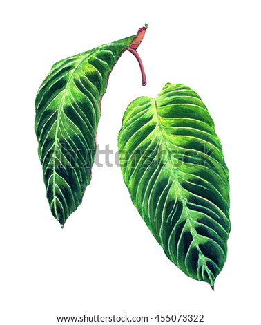Set of 2 tropical leaves. Exotic Calathea Warscewiczii plant. Handmade watercolor botanical illustration, isolated on white background. For your design. - stock photo