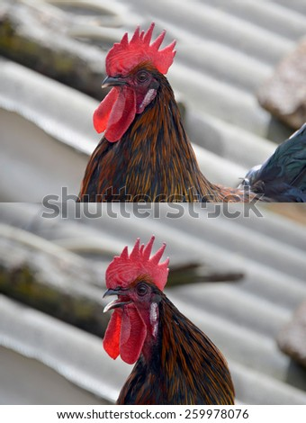 Set of two black cock profiles. In one the animal is crowing - stock photo