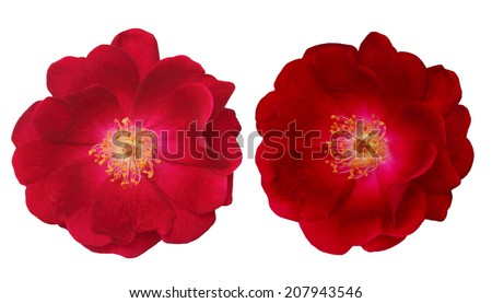 Set of two red Rosa Rubiginosa rose flower isolated on white  - stock photo