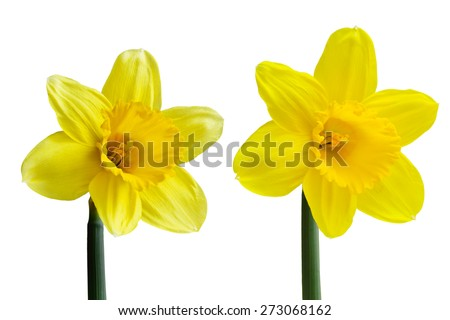 Set of two yellow narcissus daffodil flowers isolated on white - stock photo