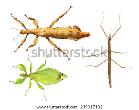 Set of walking stick insects on a white background -Ghost insect (Extatosoma tiaratum), Asia walking stick (Phasmina insect), Leaf insect (Phyllium giganteum)  - stock photo
