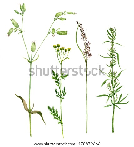 Set of watercolor drawing wild flowers and cereal herbs, isolated painted wild plants, botanical illustration in vintage style, color floral elements, hand drawn natural image