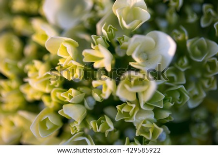 Set of white flowers ,foreground, flower buds about to open,with thick and strong petals. - stock photo