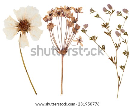 Set of wild dry flowers pressed, isolated - stock photo