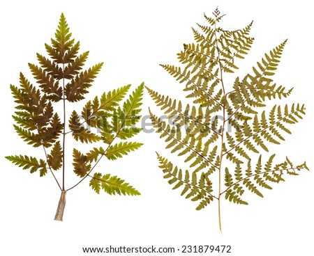 Set of wild dry leaf fern pressed, isolated - stock photo