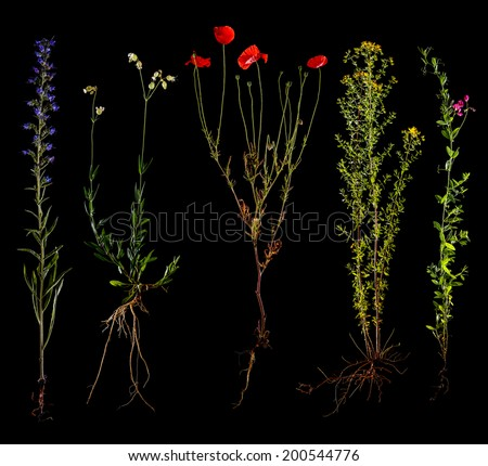 Set of wild flowers with root isolated on black background - stock photo