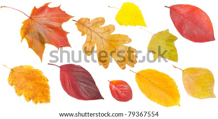 set of yellow and red leaves, isolated on white background - stock photo