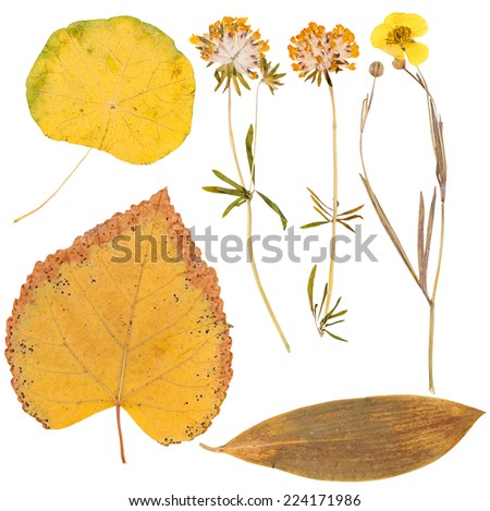 Set of yellow wild dry pressed flowers and leaves, isolated - stock photo