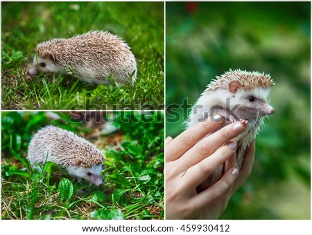 Set. Prickly hedgehog in the green grass. close-up - stock photo
