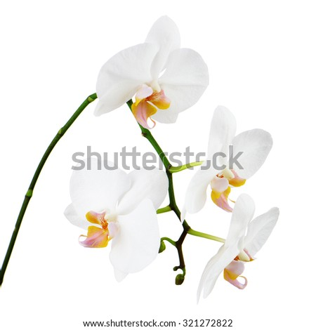 Seven day old orchid isolated on white background. Closeup.
