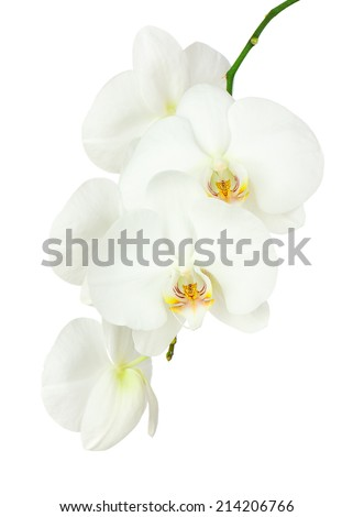 Seven day old white orchid isolated on white background. Closeup.
