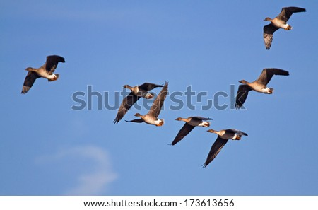Seven flying Bean Geese in a blue sky - stock photo