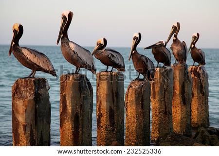 Seven Pelicans on Seven Wood Posts - stock photo