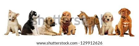 Seven puppies on isolated white background