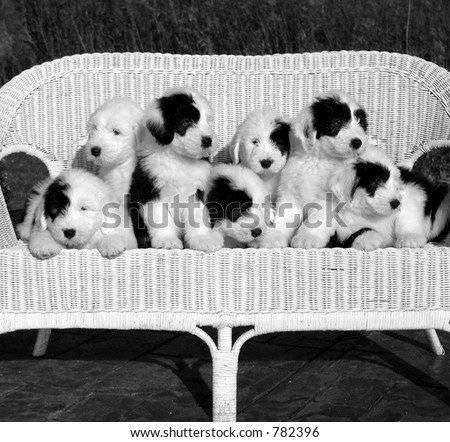seven sheepdog puppies black and white - stock photo