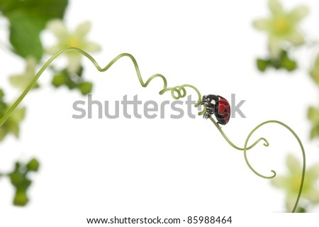 Seven-spot ladybird or seven-spot ladybug on Larger Bindweed, Coccinella septempunctata, in front of white background - stock photo