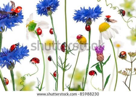 Seven-spot ladybird or seven-spot ladybugs on daisies, cornflowers and plants, Coccinella septempunctata, in front of white background - stock photo