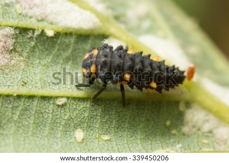 Seven spot ladybug, Coccinella septempunctata larva and aphids on leaf - stock photo