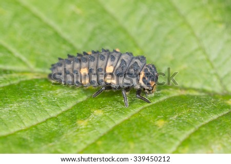 Seven spot ladybug, Coccinella septempunctata larva on leaf - stock photo
