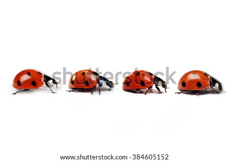 Seven-spotted ladybug isolated on  white. close up - stock photo