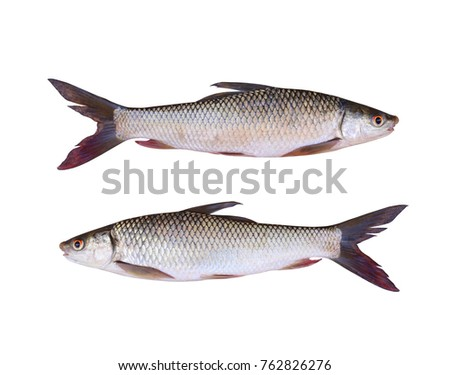 Seven-striped barb or Julian's golden carp of freshwater fish isolated on white background and have clipping paths.