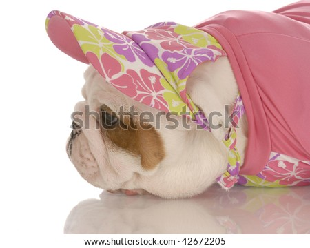 seven week old english bulldog puppy dressed up in pink hat and sweater - stock photo