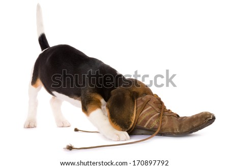 Seven weeks old cute little beagle puppy with its head in an old shoe - stock photo