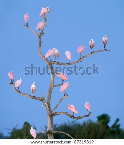 seventeen roseate spoonbills perched on tree snag in florida wetland before dawn - stock photo
