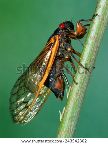Seventeen-year Cicada (Magicicada septendecim) Planting Its Eggs in a Tree Twig - stock photo