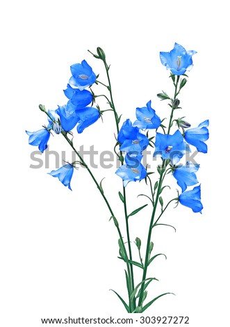 Several blue bellflower flowers isolated on white background - stock photo