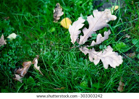 Several brown oak autumn leaves on green grass