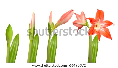 Several Days of Flower Life. Stages of growth - amaryllis isolated on white background. - stock photo