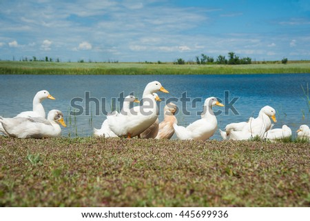 Several domestic ducks on a pond sunny summer day