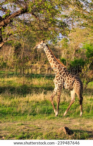 Several giraffes walking and eating in a green landscape - stock photo