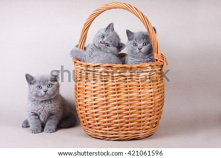 Several gray kitten British cat and basket
