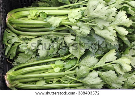 Several green celery stalk head vegetables for sale in a black plastic bin outside at a farmer market. Many heads of fresh celery stalk bunches in a black bin. - stock photo
