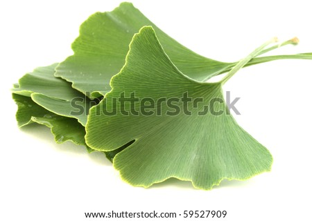 Several green fresh healing ginkgo biloba leaves on white background - stock photo