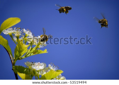 Several Honey Bees Flying Around Flowers - stock photo