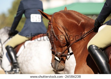 Several horses and riders before the start of a morning horse show (shallow focus point on foreground horse's head). - stock photo